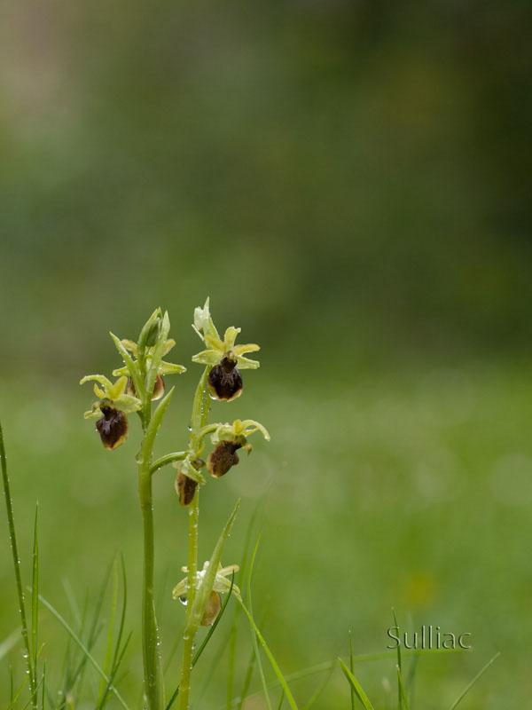 Ophrys_Araneola Ophrys_Araneola_04