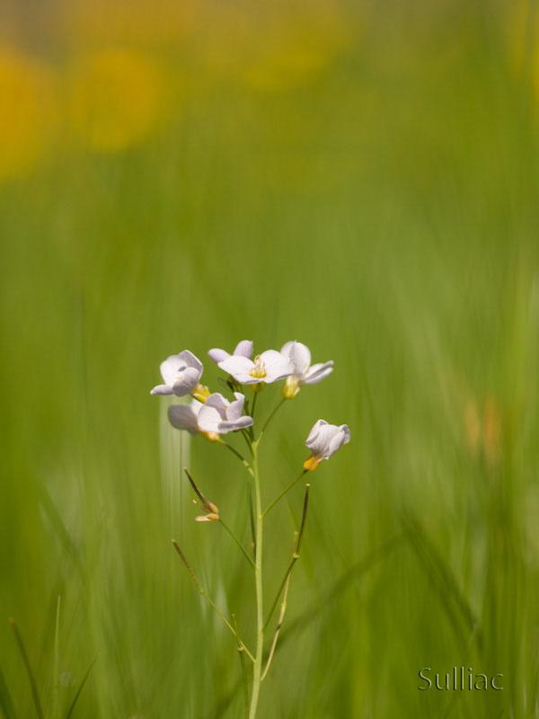 Petite fleur blanche + 3 recadrages ! P4251867