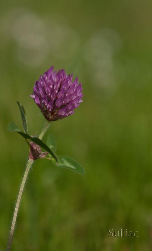 Petite fleur de trèfle P5122100