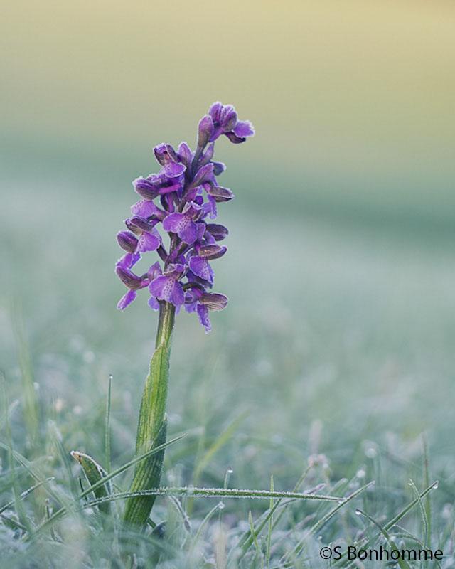Orchidée gelée Herorc10